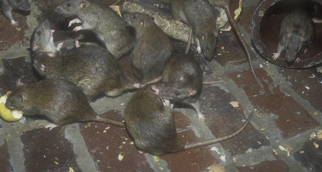 уничтожение крыс в Челябинске